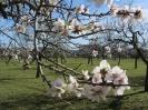 almond-blossom2